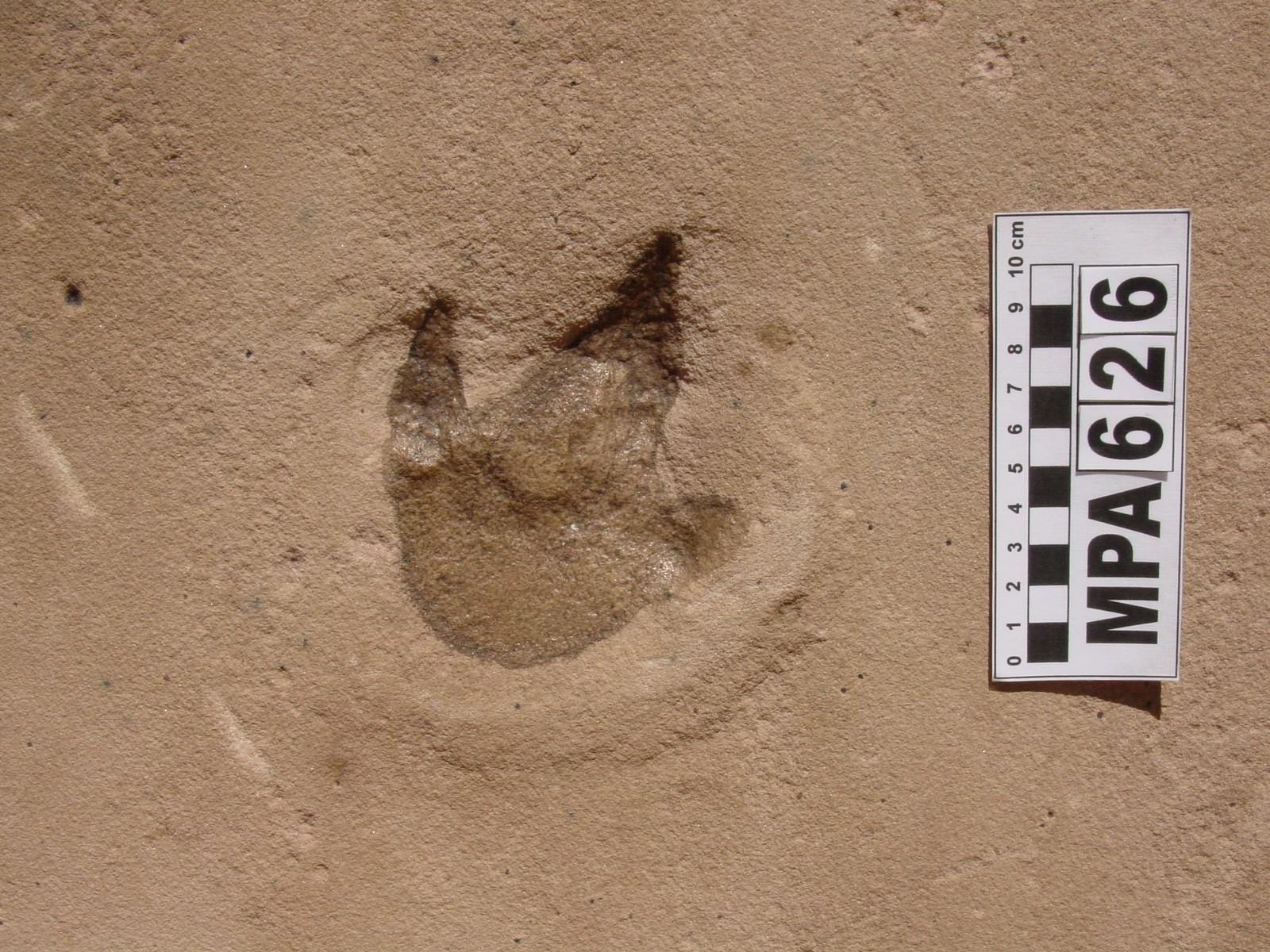 Pegada de dinossauro terópode (Foto: Marcelo Adorna Fernandes/ Arquivo pessoal)