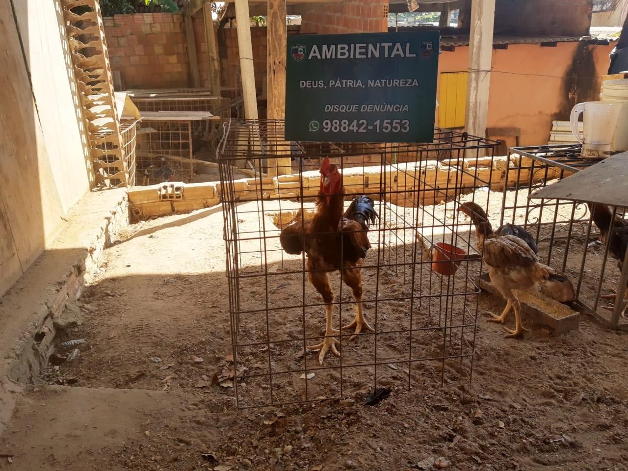 Polícia desmonta rinha de galos e criação ilegal de pássaros silvestres em Manaus; 2 pessoas são detidas