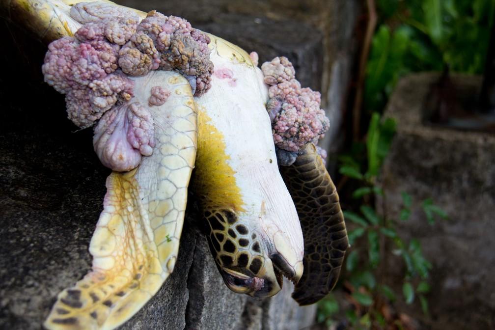 Tartaruga com tumor causado por condições ambientais como poluição da água — Foto: Robson dos Santos/Arquivo Pessoal