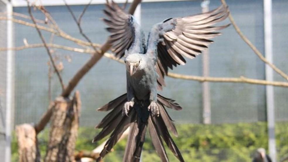 Pássaro ficou famoso mundialmente por causa da animação 'Rio' (Foto: ACTP)