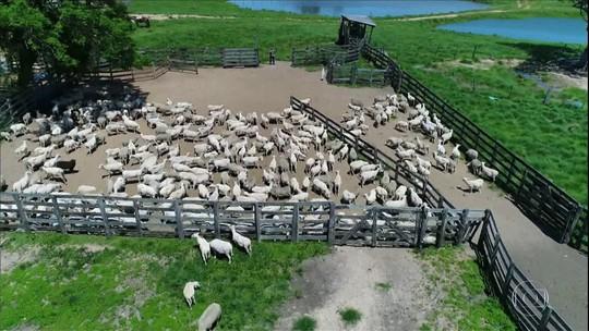 Criadores começam a temporada de retirada de lã das ovelhas no Rio Grande do Sul, mas processo exige cuidados
