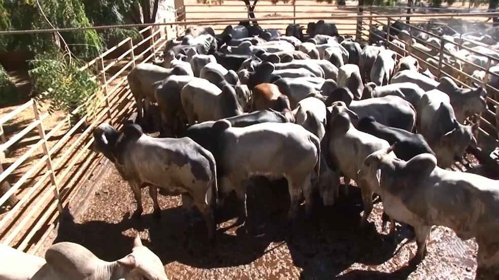 Bois apreendidos no oeste da Bahia foram abatidos (Foto: Reprodução/ TV Bahia)