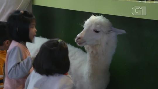 Alpacas são a grande atração de cafeteria em Taiwan