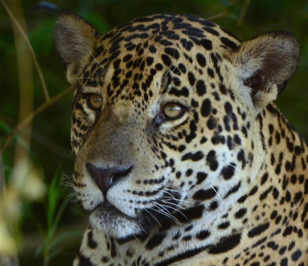O afastamento dos turistas deixou as onças 'mais à vontade' no Pantanal de Mato Grosso — Foto: Ailton Lara