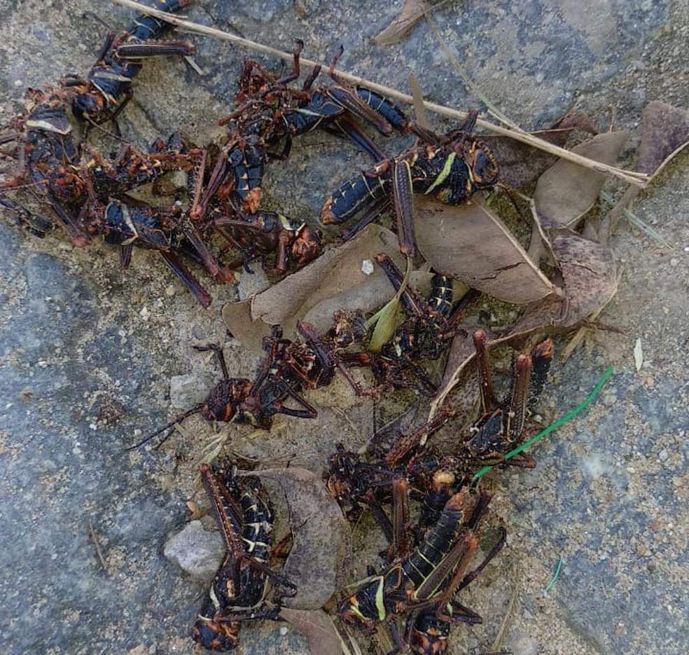 Gafanhotos que apareceram em Paulista, de acordo com pesquisador, são da espécie Tropidacris collaris — Foto: Reprodução/WhatsApp