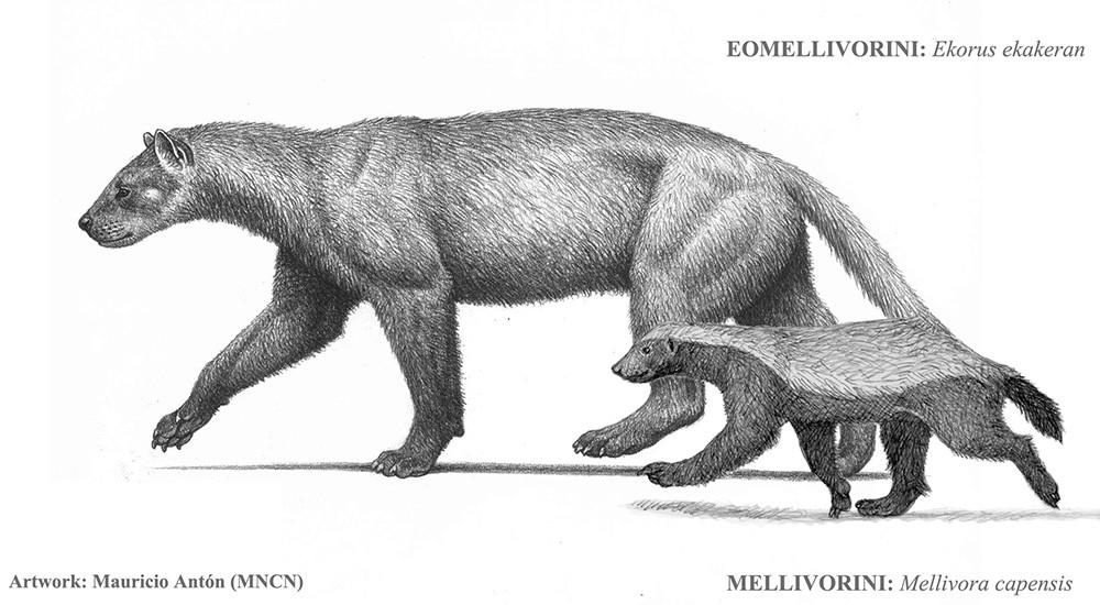 Parente do ratel que conhecemos hoje era muito maior do que ele, segundo fósseis encontrados (Foto: Mauricio Antón (MNCN))
