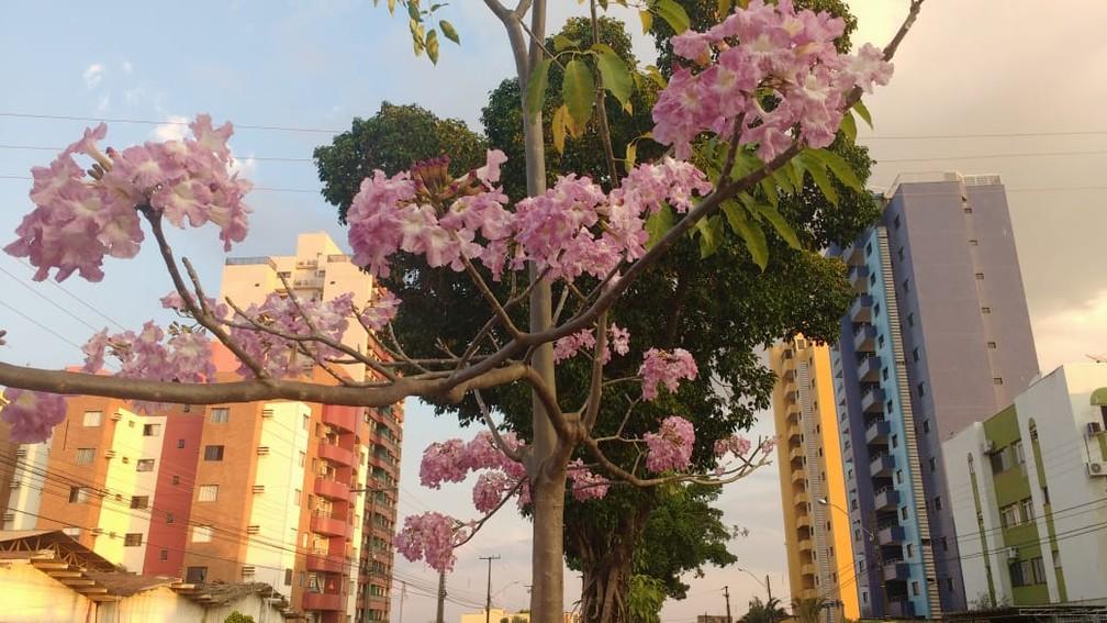 Ipê rosa florido em avenida de Porto Velho — Foto: Rilmo Dantas/Rede Amazônica