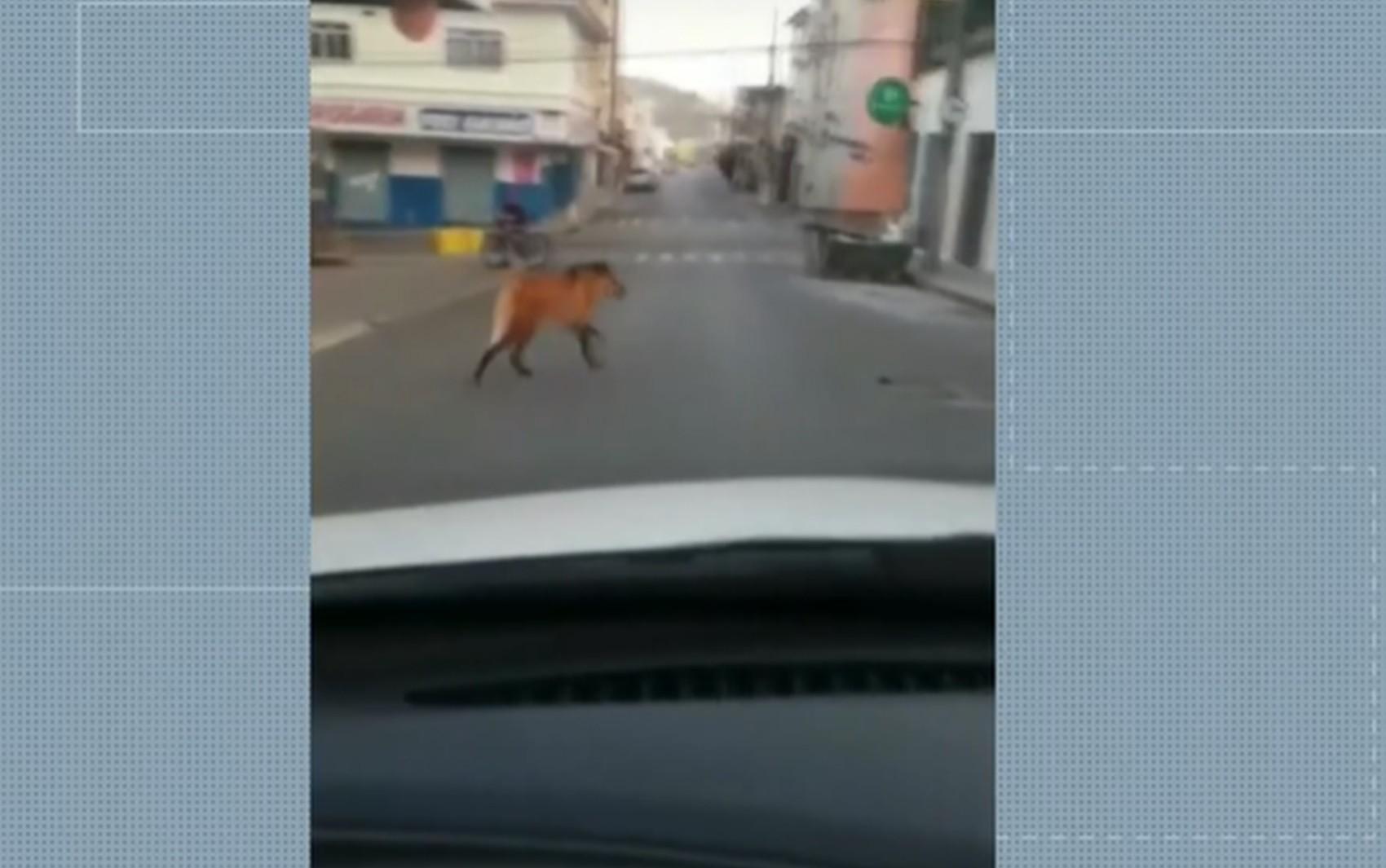 Moradores flagram lobo-guará 'passeando' no Centro de Cambuí durante o fim de semana, veja VÍDEO