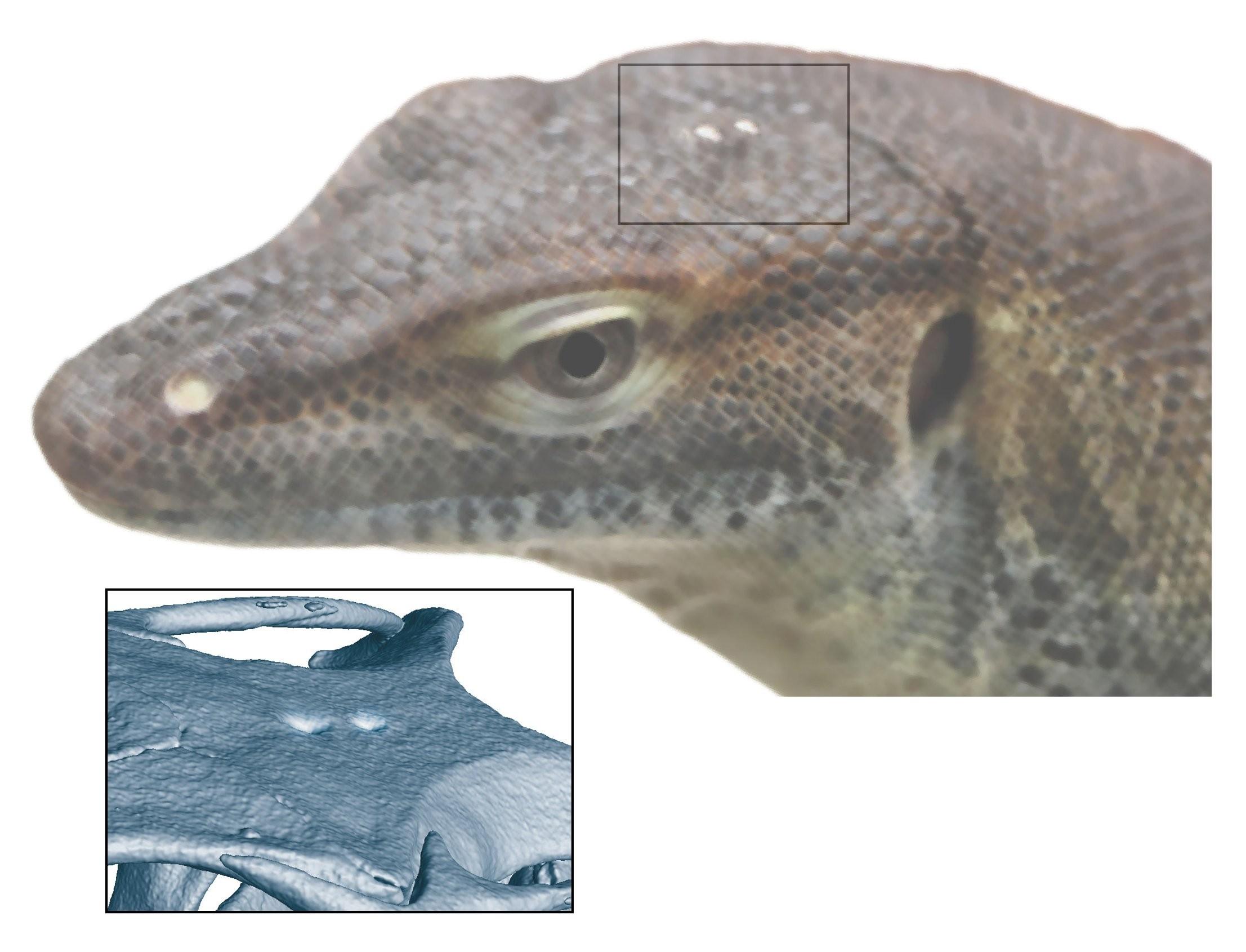 Por que os lagartos têm um 'terceiro olho'