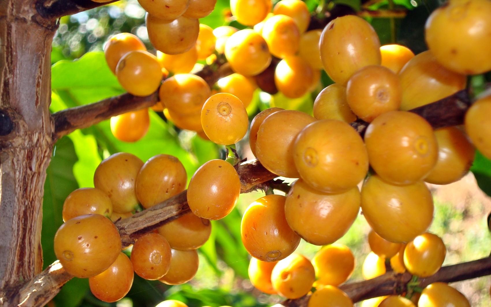 Melhora nos preços pode fazer exportações de café crescerem ainda mais, dizem empresários - Notícias - Plantão Diário
