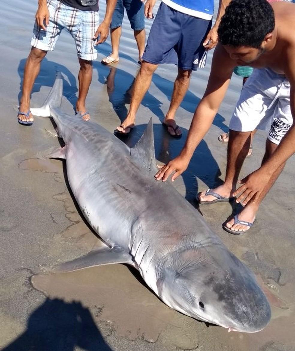 Segundo os pescadores que pegaram o tubarão, ele foi tirado da água já sem vida (Foto: Daniel Bezerra)