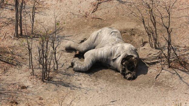 Número de elefantes mortos aumentou por ação de caçadores (Foto: Divulgação/ ELEPHANTS WITHOUT BORDERS)