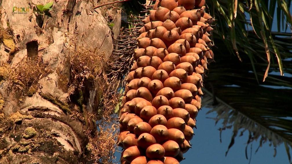 Coco babaçu é sinônimo de renda, cultura e resistência no interior do Piauí — Foto: TV Clube