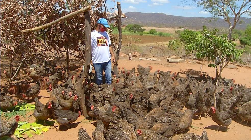 Galinhas caipiras são criadas pelo produtor — Foto: Hugo Andrade/Inter TV Costa Branca