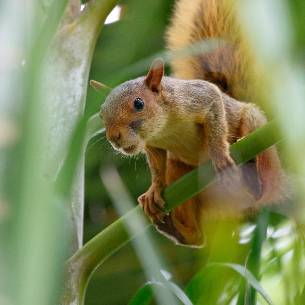 Caxinguelê também é conhecido como serelepe (Foto: Jeanne Martins/VC no TG)