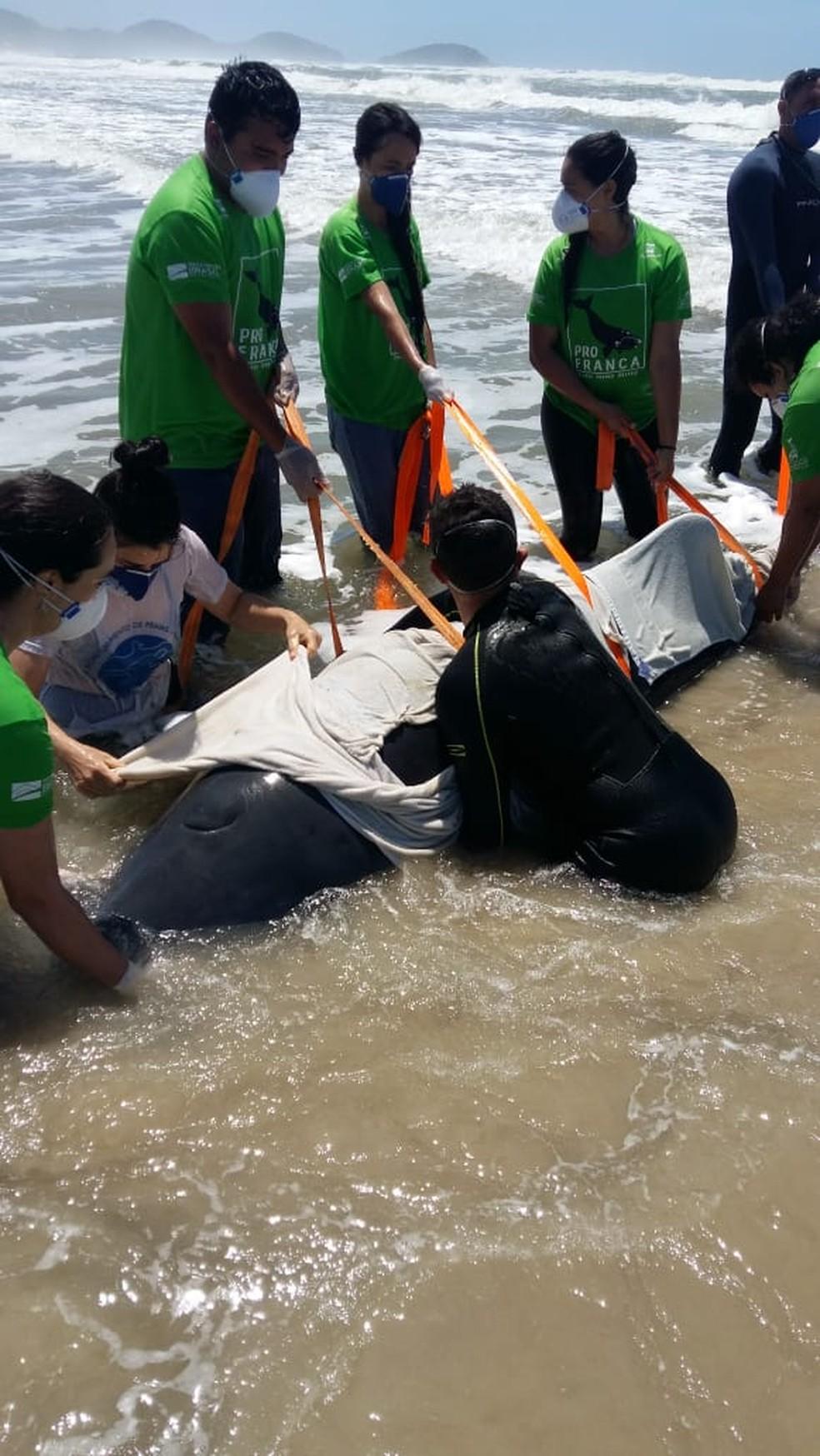 Especialistas retiraram animal do mar após encalhe para transporte terrestre até centro de reabilitação em Florianópolis  — Foto: PMP BS/Udesc