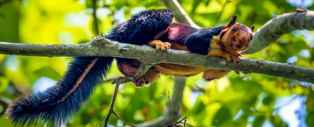 Esquilo Ratufa indica tem coloração única com cores que variam em tons de roxo, anil e laranja. (Foto: KaushiK Vijayan/Instagram)
