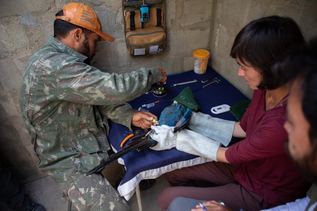 Pesquisadores do ICMBio fazem o manejo em uma arara-azul-de-lear para colocação de placa com identificação e GPS. Os animais recebem tratamento e são treinados no local para serem reintroduzidos à natureza — Foto: Marcelo Brandt/G1