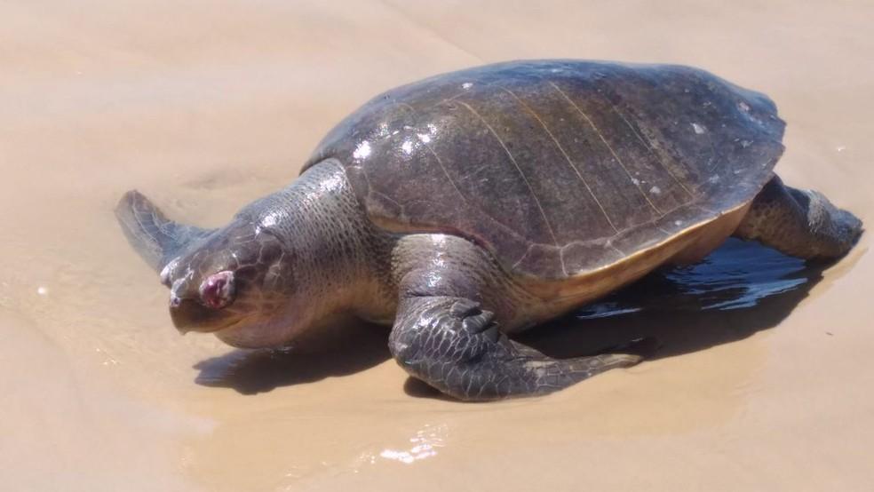 Tartaruga que foi encontrada morta na Praia da Caueira no sábado de carnaval (Foto: Vera Nilza)