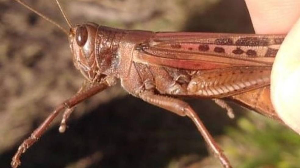Gafanhoto da espécie Schistocerca cancellata localizado na Argentina, em meio à nuvem de insetos — Foto: Divulgação/Senasa Argentina