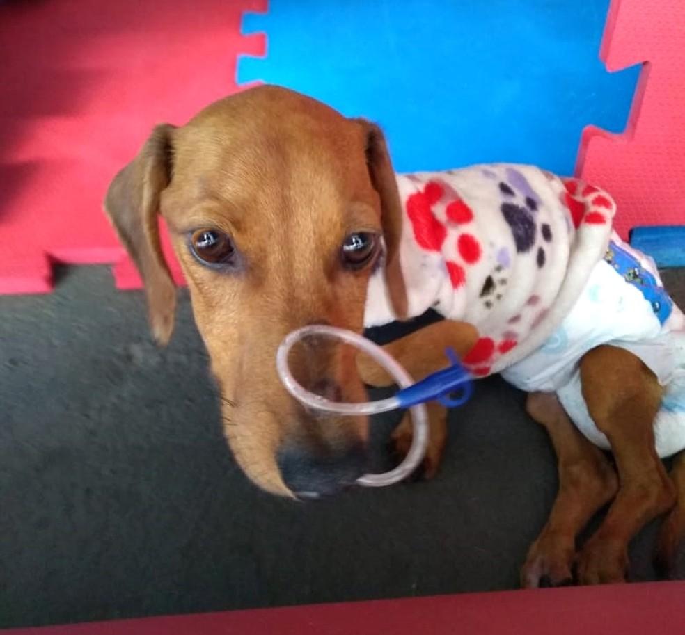 Cachorro se recupera na casa dos novos donos — Foto: Arquivo pessoal