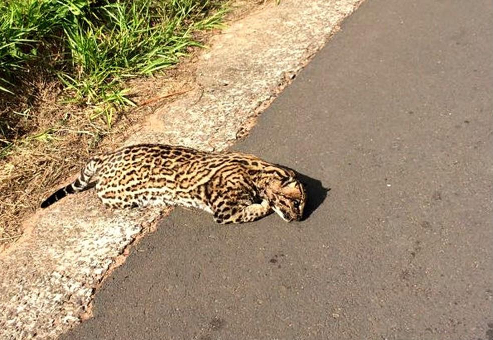 Em junho, Jaguatirica morreu atropelada e ficou horas jogada no acostamento (Foto: Divulgação / Redes sociais)