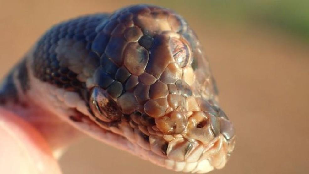 A cobra tinha dificuldade para se alimentar devido à deformação — Foto: NT PARKS AND WILDLIFE