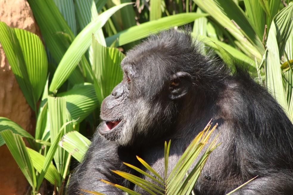 Black, de 48 anos, foi transferido do zoo de Sorocaba para um santuário de primatas — Foto: Divulgação/Prefeitura de Sorocaba