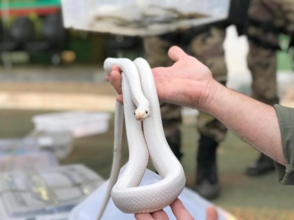 Cobra encontrada em chácara, no DF, após denúncia anônima que envolve tráfico de animais silvestres — Foto: Afonso Ferreira/G1