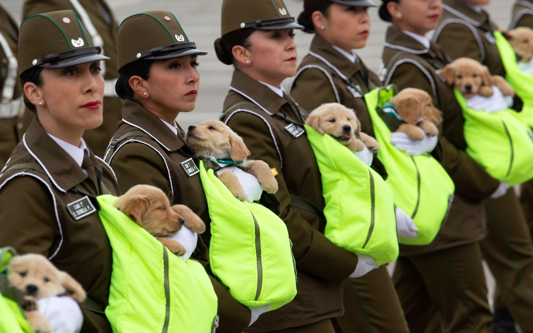 Futuros cães policiais são atração em desfile de independência do Chile