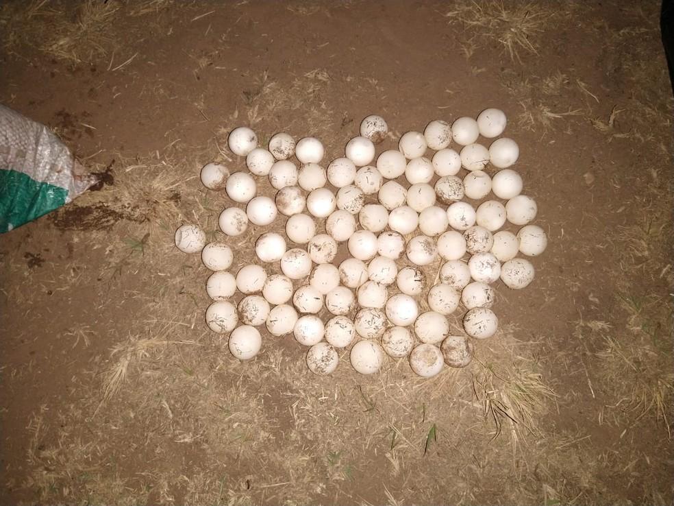 Foram apreendidos mais de 80 ovos de quelônio — Foto: PM/Divulgação