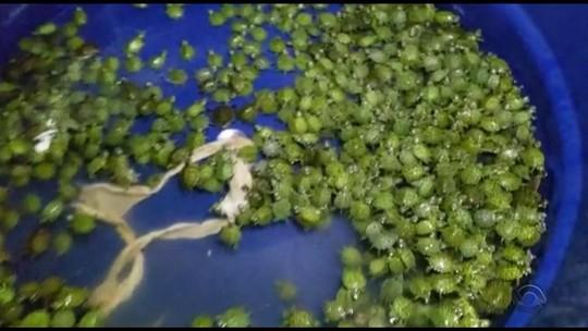Homem é preso com 800 filhotes de tartaruga na BR-290 em Eldorado do Sul