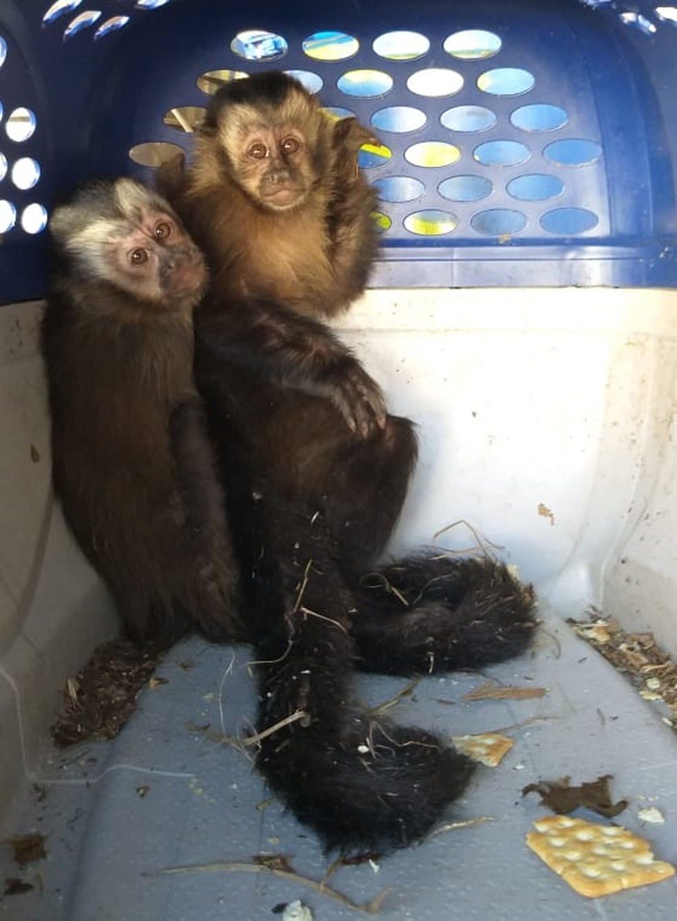 Macacos-prego foram encontrados dentro de porta-luvas de carro em Catanduva  — Foto: Divulgação/Polícia Militar Ambiental