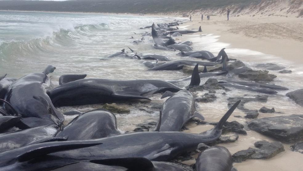 Baleias foram encontradas primeiro por pescador em praia da Austrália (Foto: Governo da Austrália Ocidental)