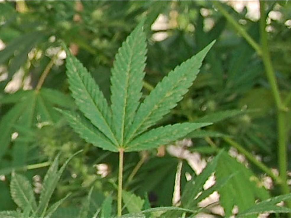 Anvisa permite uso de maconha para fins medicinais (Foto: Reprodução/BBC)