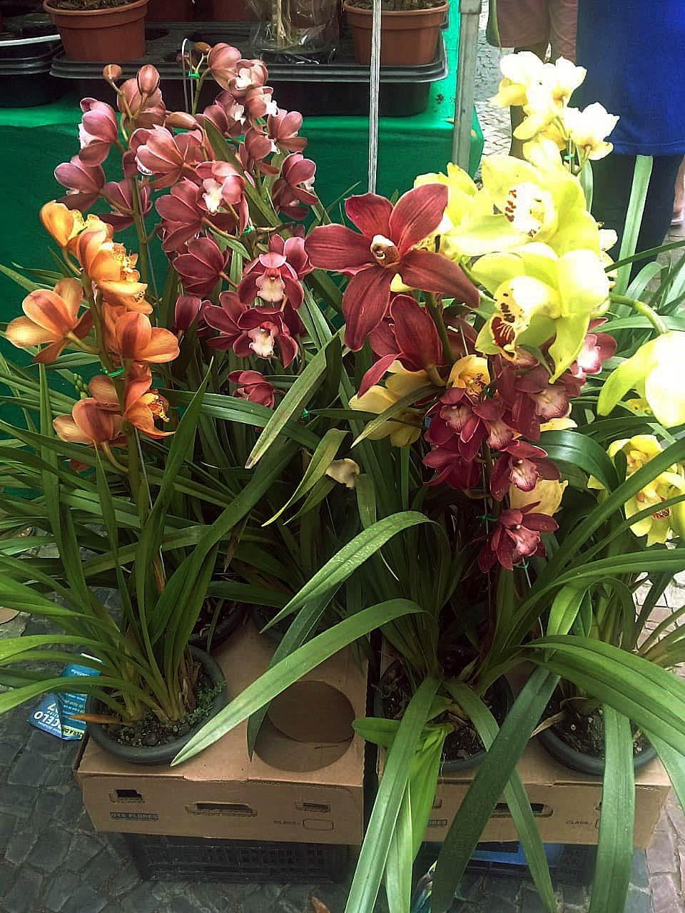 Exposição de orquídeas deixa Barra Mansa mais florida a partir de quinta-feira - Notícias - Plantão Diário