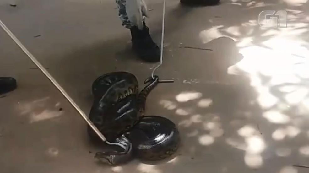 Sucuri resgatada em Stella Maris, em Salvador â?? Foto: Guarda Municipal/ Divulgação