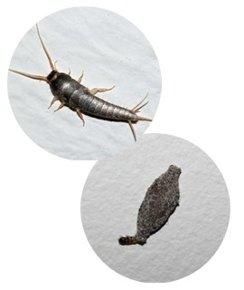 A traça adulta pode medir até 1,3 cm, e na fase larval ela fica em um casulo (Foto: Wikicommons)