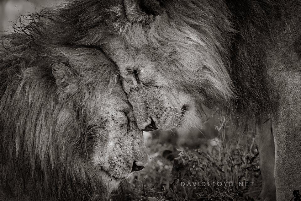 """O clique """"Bond of Brothers"""" (ligação de irmãos, em tradução livre), do fotógrafo David Lloyd, foi o grande campeão da competição (Foto: Reprodução/Facebook/David Lloyd Wildlife Photography)"""