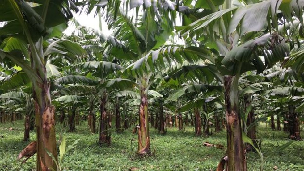 A banana formosana pode ser resistente ao fungo (Foto: BBC)