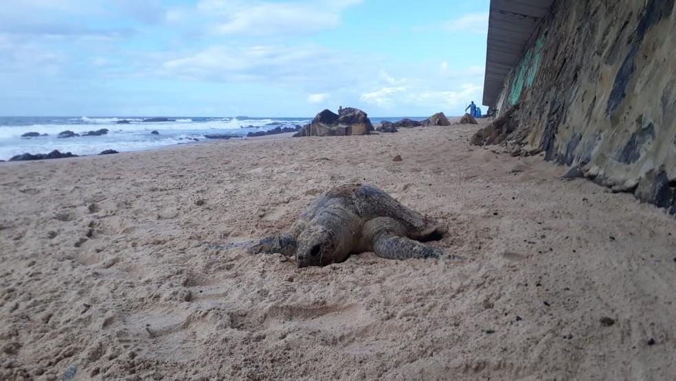 Tartaruga foi encontrada morta na praia de Ondina, em Salvador  — Foto: Andréa Silva/TV Bahia