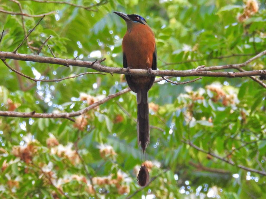 Udu-de-coroa-azul tem cauda diferenciada.  (Foto: Sonia Maria de Souza/VC no TG)
