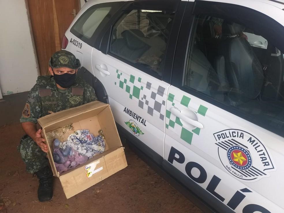 Quatro filhotes de arara-canindé foram abandonadas em uma caixa de papelão — Foto: Polícia Ambiental