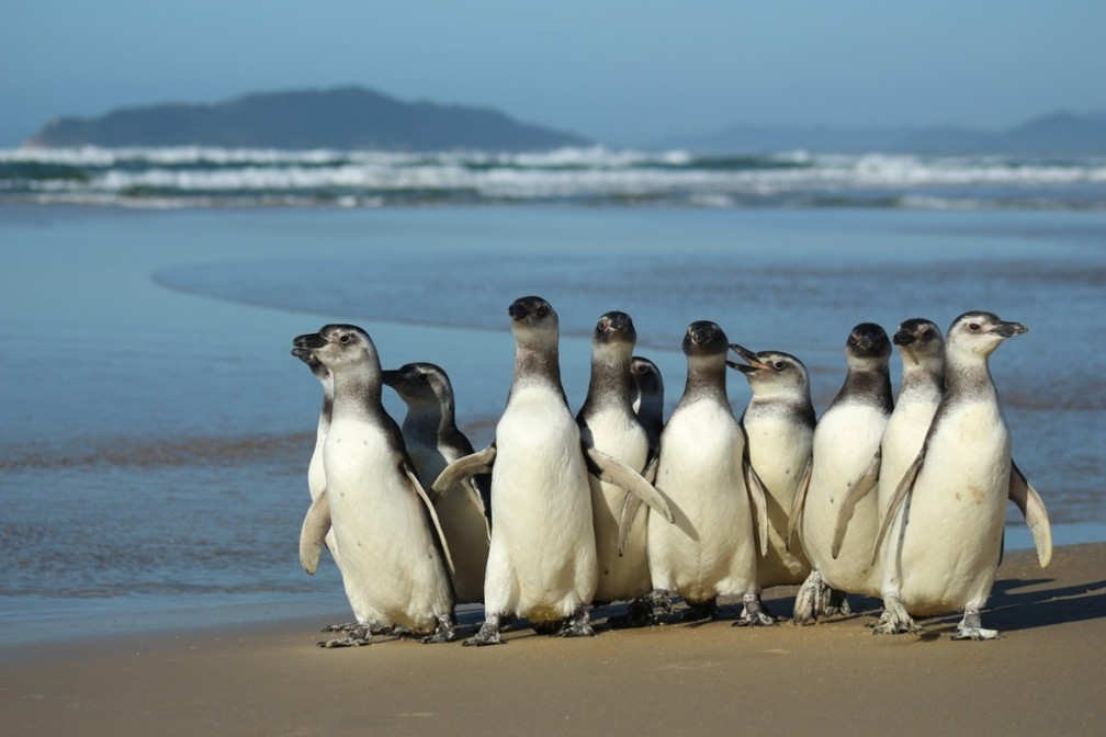 Ao todo 116 Pinguins-de-Magalhães foram resgatados com vida ao longo do ano em SC — Foto: Nilson Coelho/R3 Animal