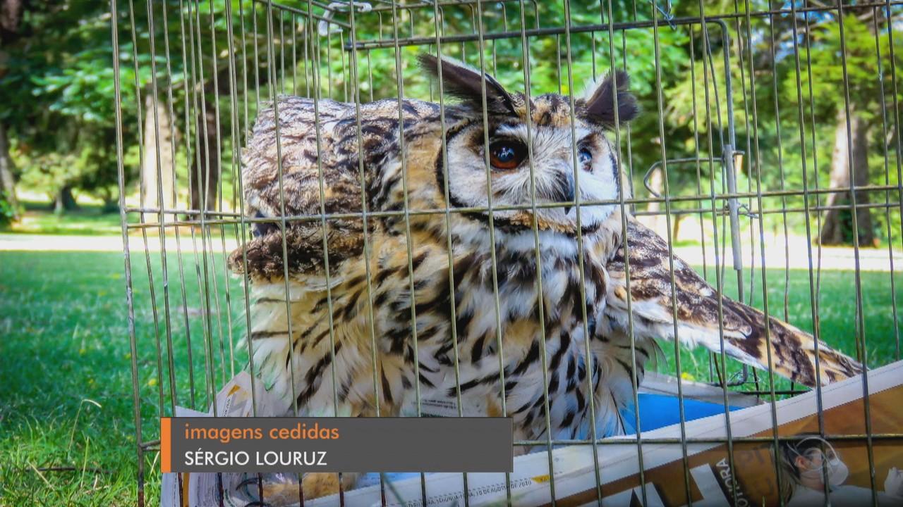 Coruja é resgatada em Porto Alegre e devolvida ao habitat natural
