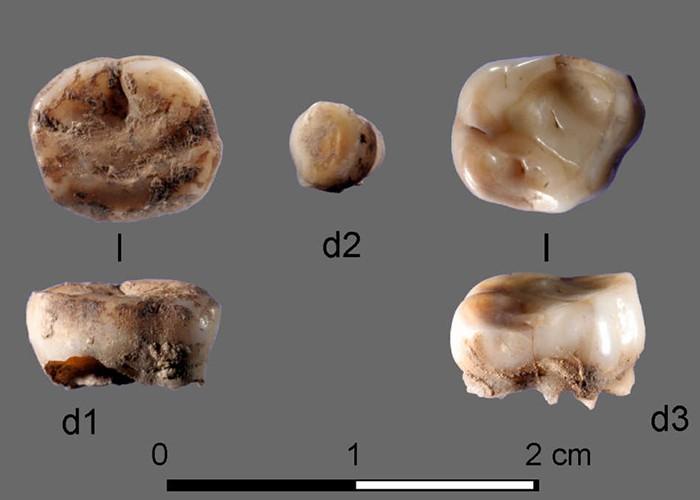 Os dentes de 31 mil anos foram encontrados na Sibéria (Foto: Divulgação)