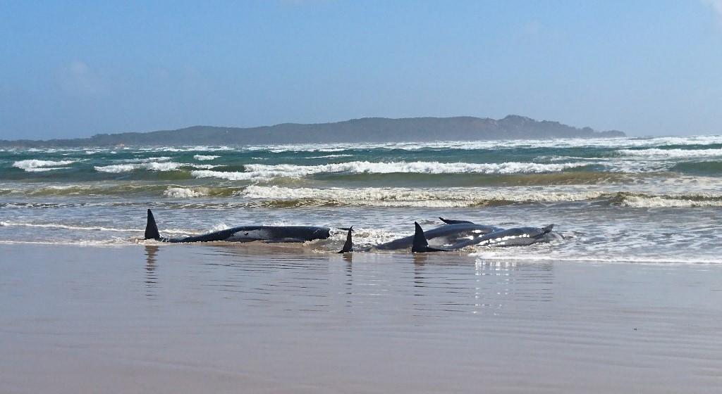 Mais de 250 de baleias estão encalhadas na Tasmânia