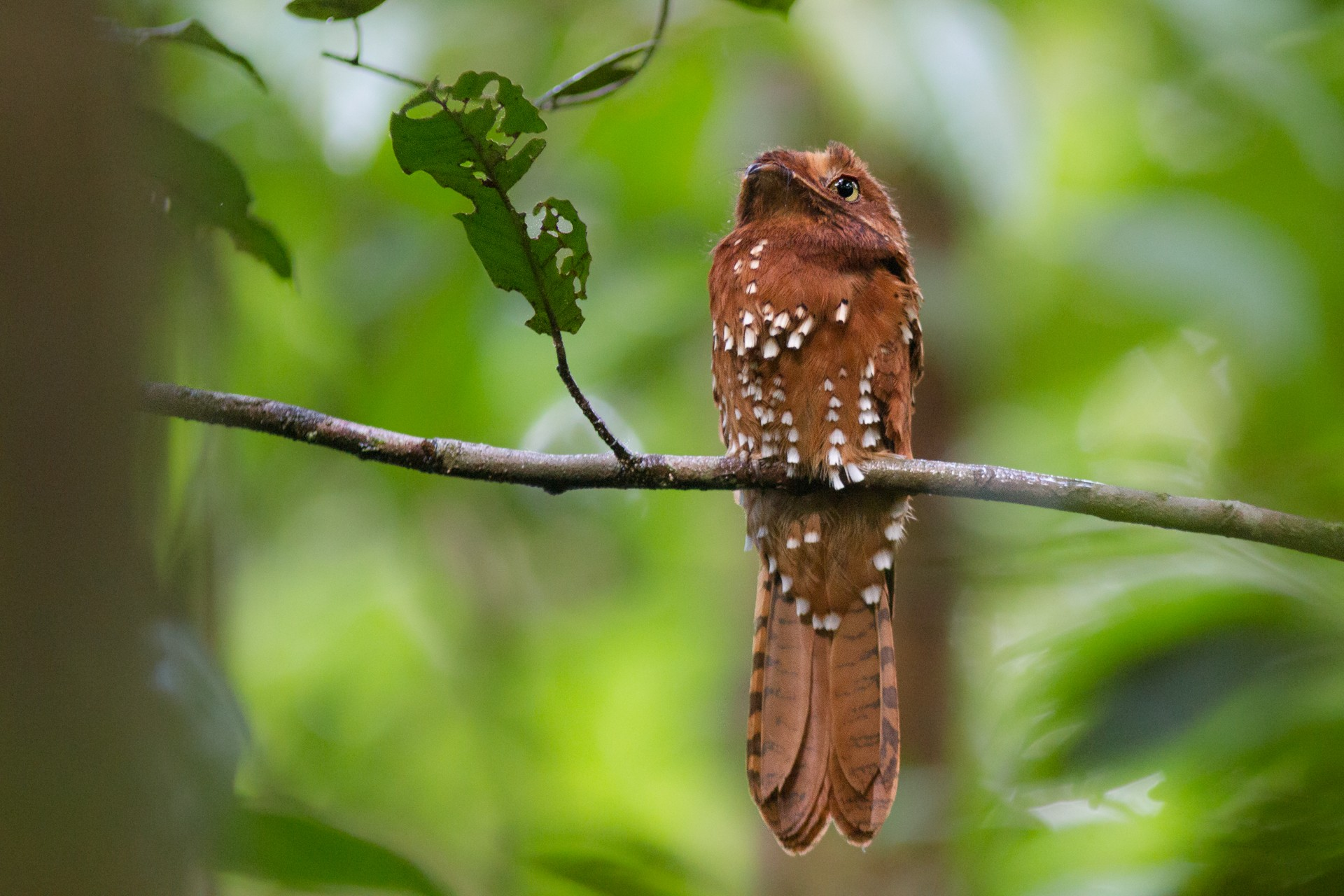Cor da plumagem e vocalização diferem urutau-ferrugem de outras aves da família