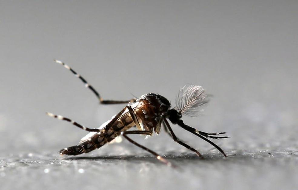 Mosquito Aedes aegypti macho geneticamente modificado na fábrica da Oxitec em Piracicaba, no interior de São Paulo. (Foto: Paulo Whitaker / Reuters )