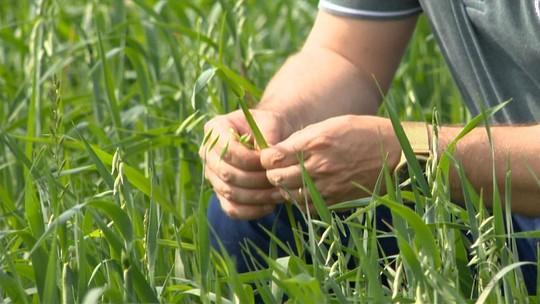 Projeto desenvolvido no RS busca alternativas sustentáveis para produção de aveia